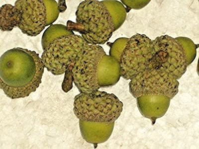 12 WHITE OAK ACORNS - Quercus alba