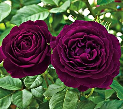 Saavyseeds Twilight Zone Rose Seeds - 11 Count - Fragrant Rose Bush