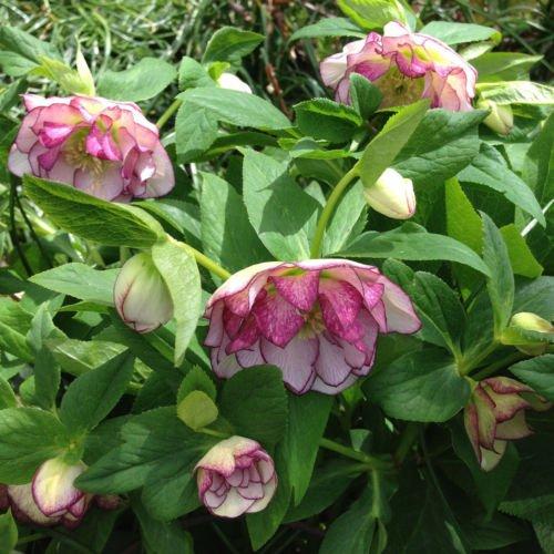 3 DOUBLE Helleborus hellebore lenten rose perennial plant division Random (Hellebore Plant)