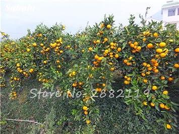 Bonsaï D/'oranger Arbre Graines comestibles fruits Plante Jardin Kumquat En Pot