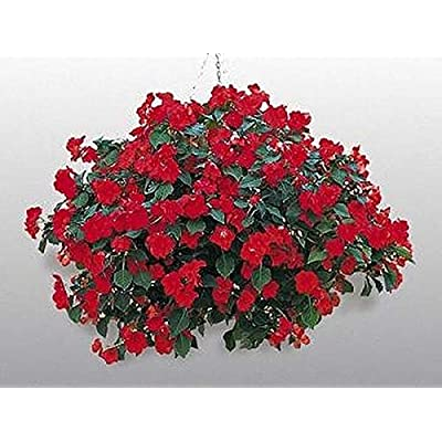 Impatiens Candy Red Seed : Garden & Outdoor