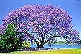 Blue Jacaranda Tree Seeds by BluSeeds