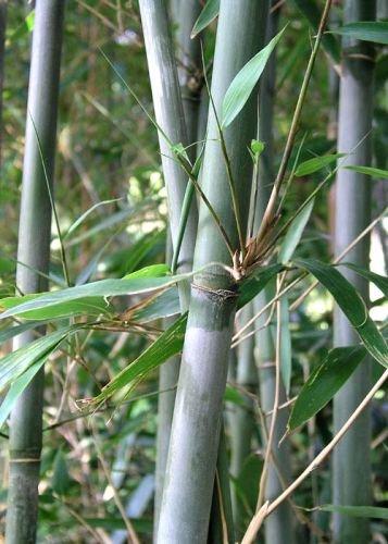 Bashania Fargesia, Chinese Blue Cane Bamboo, #1 Size Live Plant by Maya Gardens, Inc.