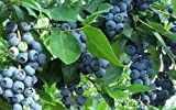 Premier Blueberry Bush - Hardy Perennial