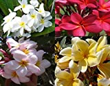 4 Plumeria Hawaiian Cuttings Red White Yellow Pink
