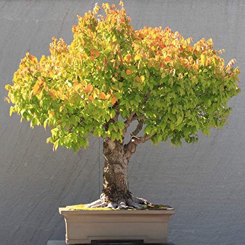 - 30 Seeds: Japanese zelkova elm, zelkova serrata Beautiful Tree Fresh Seeds Bonsai