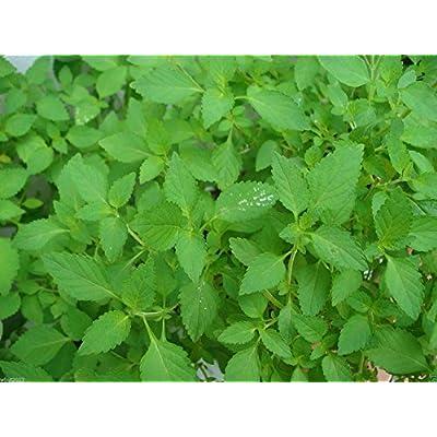Mint- Peppermint, Mentha Piperita(300 Seeds) Grow Indoors or Outdoor-organic ! by wbut2023 : Garden & Outdoor