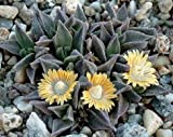 Seeds Nananthus Aloides Rare Living Stone Cacti Mesembs Rock Plant Ice Seed 100 Seeds