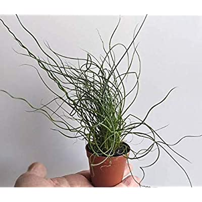 Corkscrew Rush Perennial Indoor House Plant in 2 inch Pot - Juncus effusus Spiralis : Garden & Outdoor