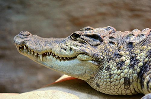 Gifts Delight LAMINATED 36x24 inches Poster: Crocodile Head