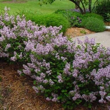 Lilac Garden Nursery - 4