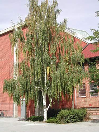 Weeping White Birch, (Silver Birch), Betula pendula alba, Tree Seeds (150 Seeds) by Parahita Store -
