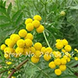Yellow Tansy Seed Asteraceae Bonsai Chrysanthemum Flower Potted Plant Garden Greenhouse Viewing Courtyard Supplies 50 PCS 1
