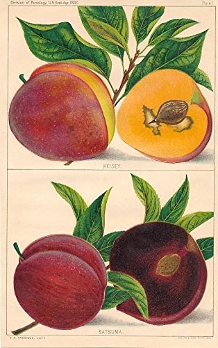 Kelsey peach & satsuma plum fruit & leaf 1887 lovely color plant print