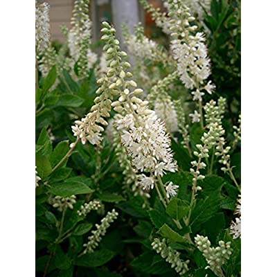 Clethra alnifolia SUMMERSWEET SHRUB Seeds! : Garden & Outdoor