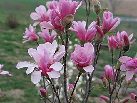 Amazoncom Leonard Messel Magnolia Tree Outdoors Or Bonsai