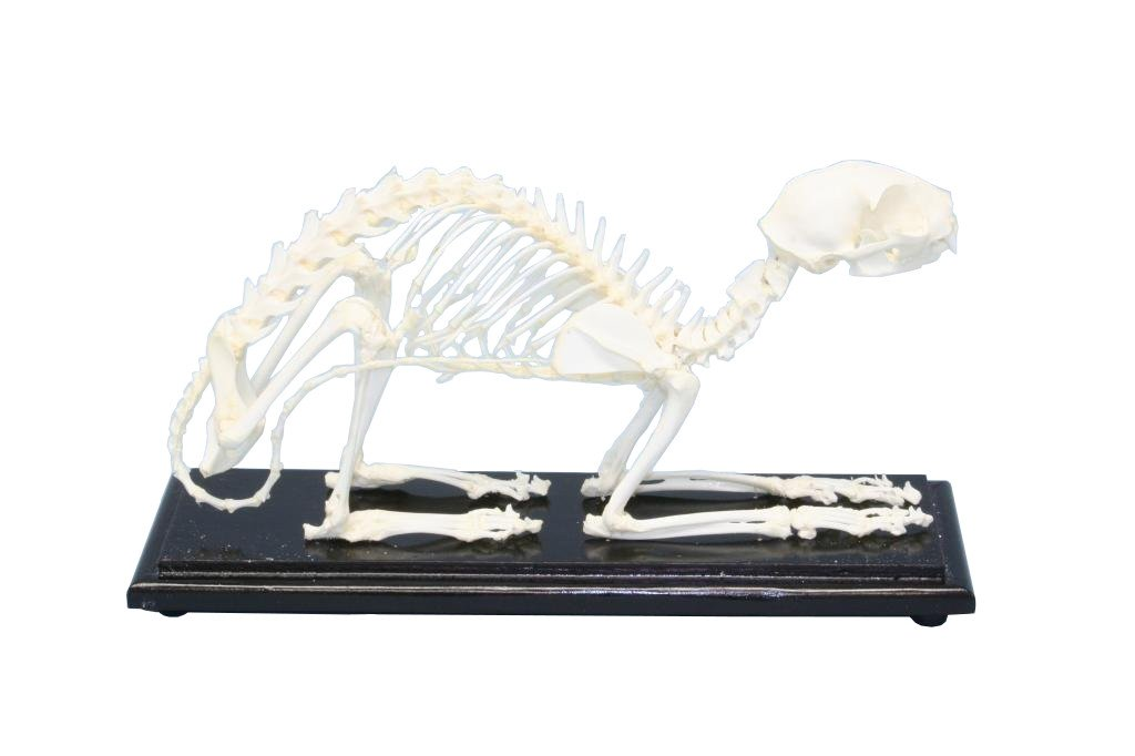 C & A Scientific - Premiere 51009 Real Cat Skeleton