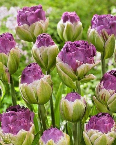 (10 Double Late Peony Tulip Bulbs Purple White Green Flowers Rare)