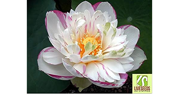 Amazoncom Liveseeds Two Colourpink Whitewater Lily Flower