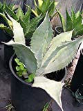 Agave Americana Century Plant Healthy 2 Gal. Large Easy to Grow Landscape Plants