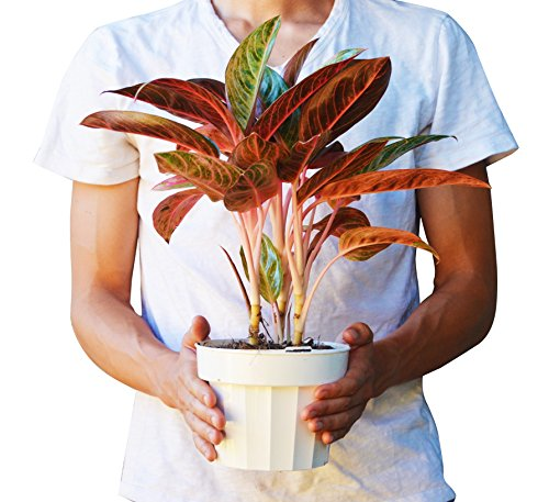 Chinese Evergreen Plant (Chinese Evergreen 'Tropical Passion' - Aglaonema - Live House Plant - FREE Care Guide - 6