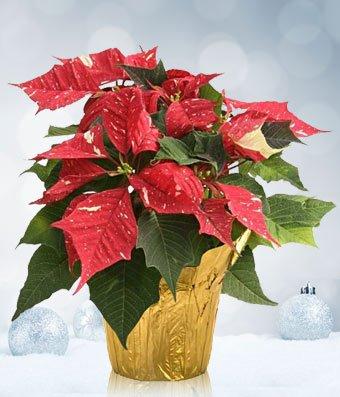 Christmas Poinsettia Angels - eshopclub Same Day Christmas Flower Delivery - Online Christmas Flowers - Christmas Flowers Plants - Send Christmas Plants by eshopclub
