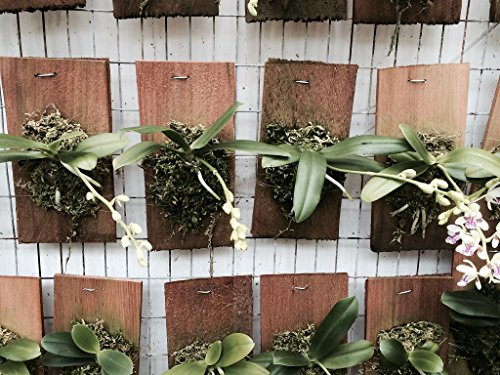 Sedirea (Aerides) Japonica - Orchid Plant - Miniature - Fragrant - Easy-Grower - Indigenous to Japan