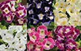 20+ Wishbone Flower Seed Mix / Torenia / Annual