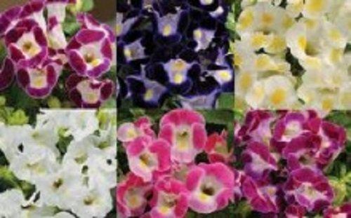 20+ Wishbone Flower Seed Mix / Torenia / Annual
