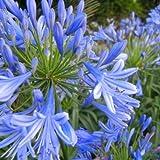 10pcs Blue Clivia Agapanthus Africamus Outdoor Plant
