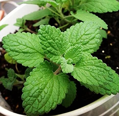 Catnip seeds 5000 Graines herbe aux chats Nepeta cataria
