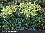 HOT - Helleborus foetidus STINKING Hellebore - Evergreen Leaves Seeds
