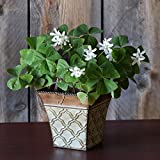 Easy to Grow Oxalis Gifts (Regnelli, Roman Flair Pot)
