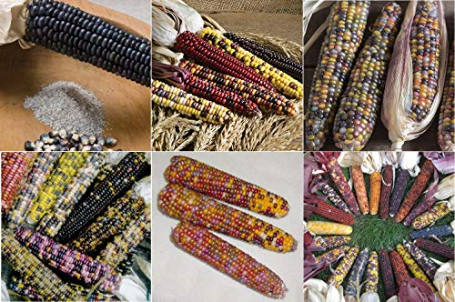 - David's Garden Seeds Collection Set Corn Dent EH9751 (Multi) 6 Varieties 550 Seeds (Non-GMO, Organic, Heirloom)