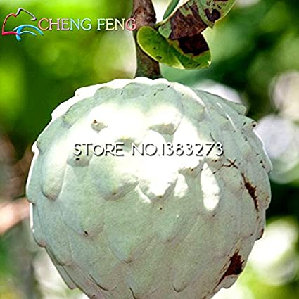 5 Pcs Graviola Soursop Guanabana Annona Muricata Tropical Seed Professional Packing Garden Heirloom Fruit Seeds