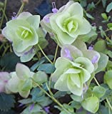 25+ Ornamental Oregano Round-Leaved Origanum Rotundifolia Flower Seeds / Perennial