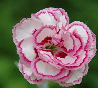 Mothers Day Carnation Flower Seeds with Instructions 30 Seeds