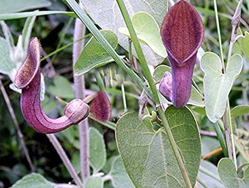 (Aristolochia tagala 20 Seeds Dutchmans Pipe Heavy Producer Aromatic Flowers Sun or Shade Hummingbirds Love! Attracts rare Butterfly Species)
