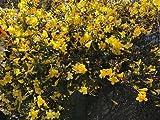 50 Carolina Jasmine Live Plants Yellow Trailing Vine Shade Bare Root Plants