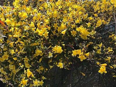 50 Carolina Jasmine Live Plants Yellow Trailing Vine Shade Bare Root Plants by pfpapattelu_seeds (Image #1)