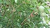 20 Aegle Marmelos Tree Seeds / Bael Fruit Bengal Quince / Stone Apple Aroma