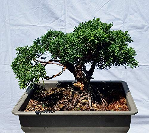- Hot Sale! Shohin Shimpaku 'Kishu' Juniper Bonsai Tree