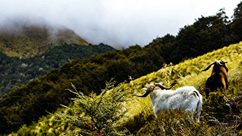 Mountain Goats by