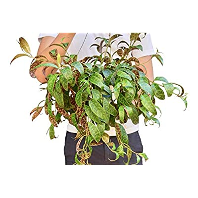 "Cheap Fresh Lipstick Plant 'Black Pagoda' Hanging in 6"" Hanging Pot Get 1 Easy Grow #HPS01YN : Garden & Outdoor"