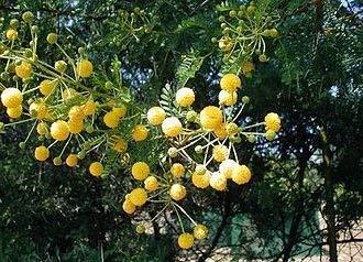 Amazoncom Plentree 5 Seeds Of Trn677 Sweet Thorn Acacia Karroo