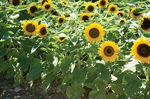 (David's Garden Seeds Sunflower Big Smile SV1312 (Yellow) 25 Non-GMO, Open Pollinated Seeds)