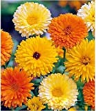 "Organic Flower seeds Calendula ""MIX"" (Calendula officinalis) Pot Marigold."