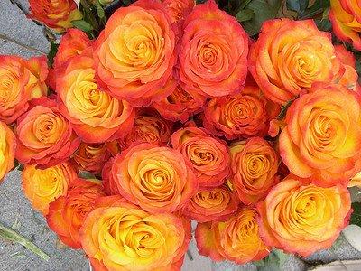 Amazon circus rose 3 seeds rose bush yellow orange garden circus rose 3 seeds rose bush yellow orange mightylinksfo
