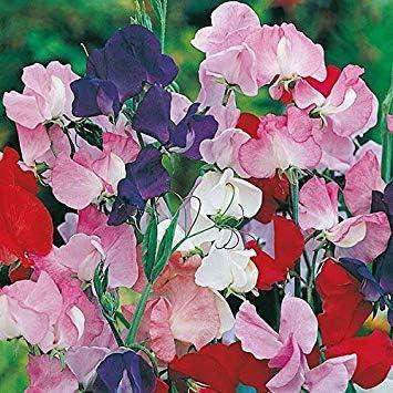 Semillas BloomGreen Co. Flor: Sweetpea Galaxy Garden Home Depot ...