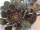 Succulent plant, Black Rose Aeonium Aboreum Alropurpureum. Zwartkop is a beautiful succulent.